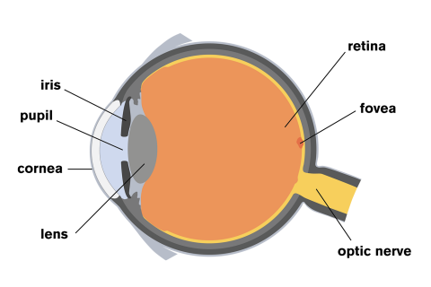 human vision and the eye essay Below is an essay on the human eye from anti essays, your source for research papers, essays, and term paper examples.