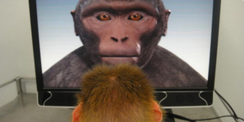 Researchers collect eye gaze data from infant macaque with a Tobii Pro T60 XL eye tracker.