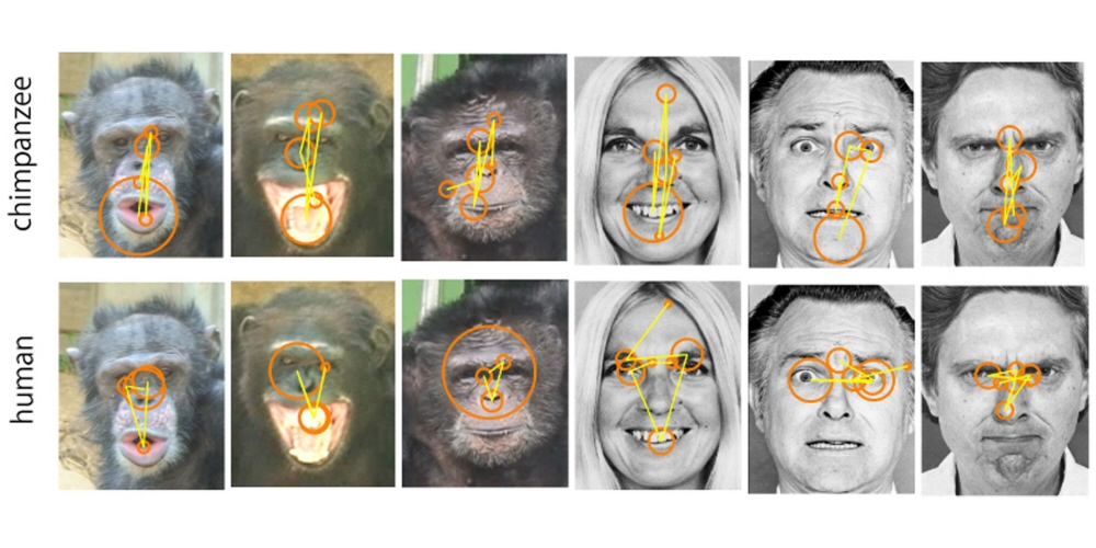 Gaze plot describing the face scanning patterns on human and chimpanzee faces depicting standard emotions-