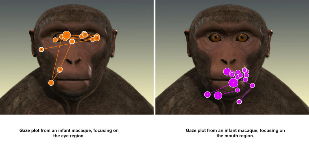 Gaze plot from an infant macaque, focusing on the eye and mouth areas.
